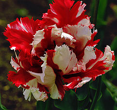 "photo ""Tulip-cock"""
