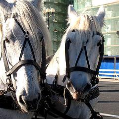 """фото """"Лошади на Дворцовой площади"""""""