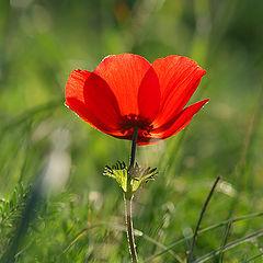 "фото ""Anemone coronaria"""