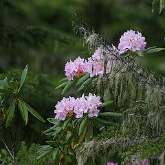 """photo """"Rainforest. Wild rhododendron. Summer."""""""