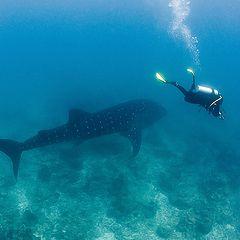 """фото """"Фотосессия с китовой акулой"""""""