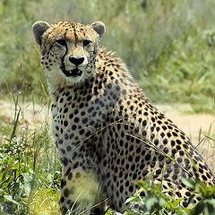 "photo ""Cheeta"""