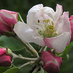 "photo ""Apple flowers"""