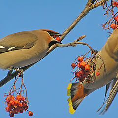 "photo ""Waxwings and rowanberry"""