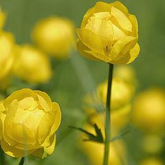 "photo ""Tróllius Flower"""
