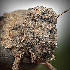"""photo """"макро ,кузнечик,насекомые,портрет"""""""