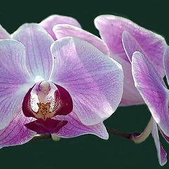 "фото ""Орхидея"""