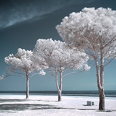 """photo """"Landscape with white trees"""""""