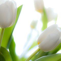 "фото ""Белые тюльпаны"""