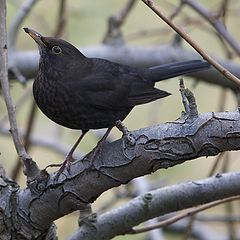 "photo ""Blackbird"""