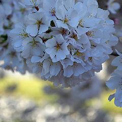 """photo """"Sakura..."""""""