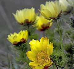 "photo ""Adonis spring"""