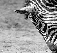 """photo """"Zebra"""""""