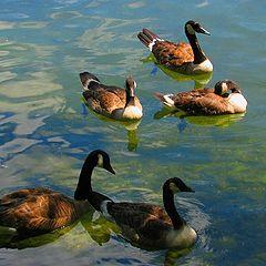 """photo """"Five Ducks."""""""