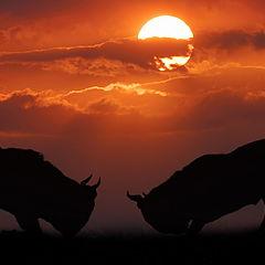 """фото """"Bull fight"""""""