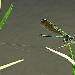 "photo ""Georgian Green Dragonfly"""