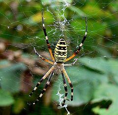 """photo """"Georgian Argiope Spider"""""""