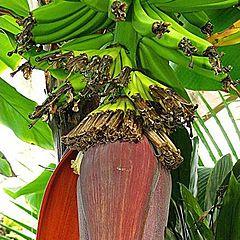"""photo """"Banana Flower opening."""""""