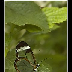 "photo ""Clear Wings Butterfly"""