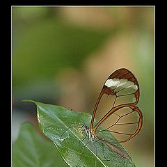 "photo ""Clear Wings Butterfly 2"""