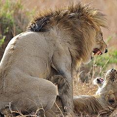"фото ""Lion`s Love"""