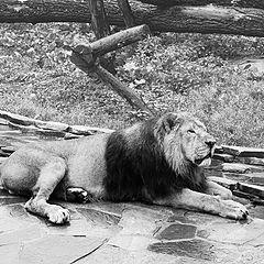 "фото ""lion"""