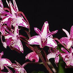 """photo """"Australian Dendrobium kingianum Orchids."""""""