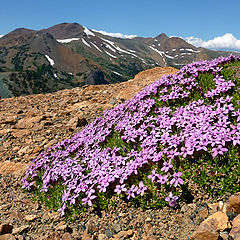 "photo ""Moss Campion in Flower"""