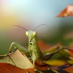 "photo ""Mantis religiosa"""