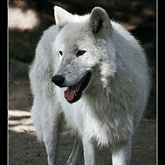 "photo ""White Wolf"""