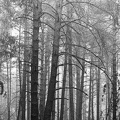 """фото """"Лес после пожара"""""""