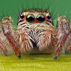 """photo """"Jumper spider"""""""