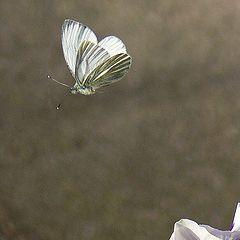 "photo ""Pieris brassicae In Flight"""