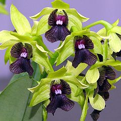 """photo """"Dendrobium Orchid 'Gerald McCraith'"""""""