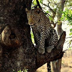 """фото """"Leopard"""""""