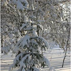 "фото ""В лесу родилась Ёлочка.... - 28* на солнце"""