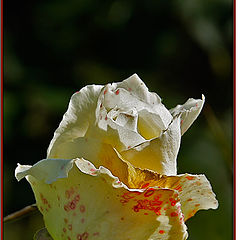 "фото ""White Rose"""