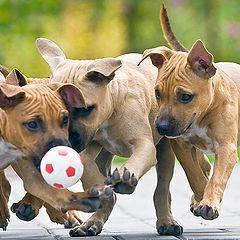 """фото """"В футбол играют настоящие питбули!"""""""