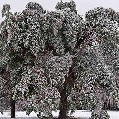 "фото ""Ледяной лес"""