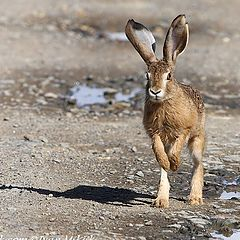 "photo ""Hare"""