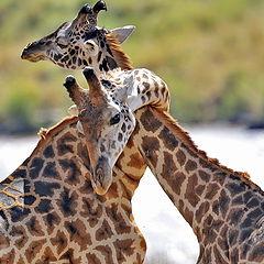 """фото """"Жирафова любовь"""""""