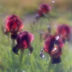 "photo ""Deep purple Iris"""