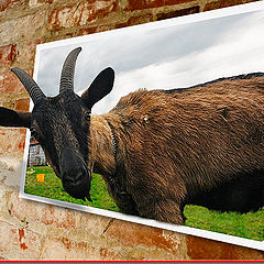 """фото """"The Goat on the Wall"""""""