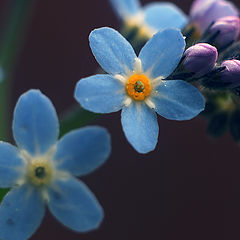 "photo ""флора, цветок, незабудка, макро, лес, природа, flora, flower, forget-me, macro, forest, nature"""