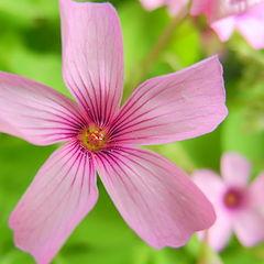"фото ""Spring Flower"""
