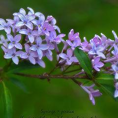 """фото """"Персидская сирень / Persian lilac"""""""