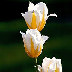 """photo """"Tulip trio"""""""