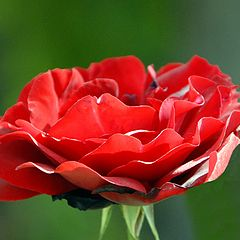 """photo """"RED ROSE"""""""
