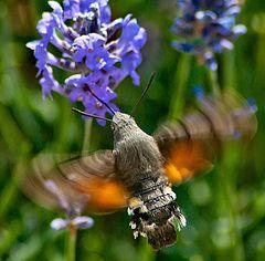 "photo ""Hawkmoth in lavender"""