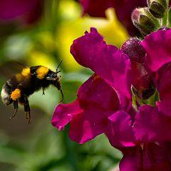 "photo ""The elephant-bumblebee of Salvador Dali"""